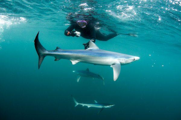 Blue Sharks Swim 4 600x400 - Gallery