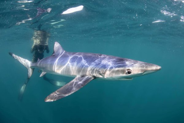 about blue sharks 600x400 - Gallery
