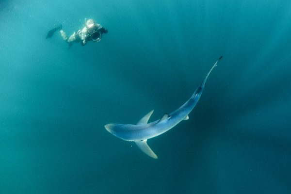 geographical distributions blue sharks 600x400 - Gallery