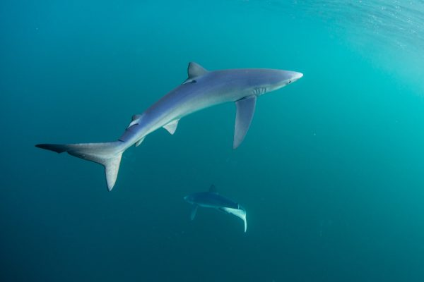 safety blue sharks 600x400 - Gallery